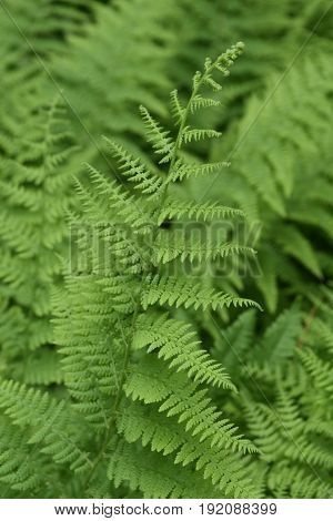 Shade garden with brilliant green lady ferns.