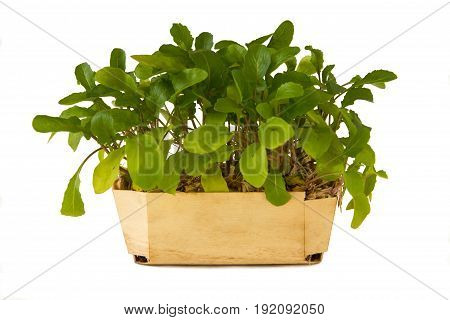 fresh green rocket-salad over a white background