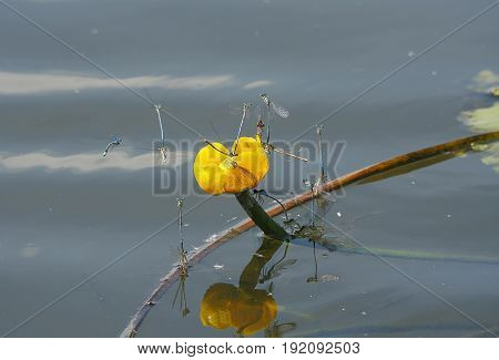 insect platycnemis pennipes mating on water background