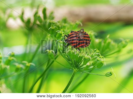 graphosoma lineatum bug with fly on plant background