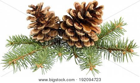 Branch pine cones green white background object
