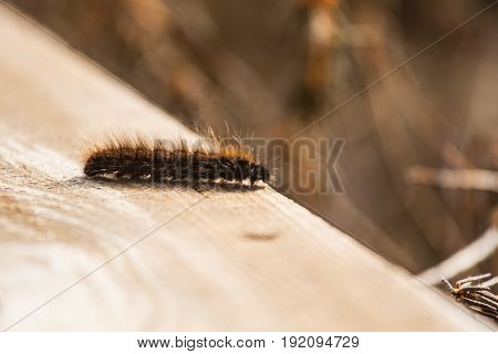 A Beautiful Black Caterpillar On A Wooden Plank In An Early Spring. Shallow Depth Of Field