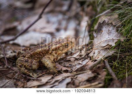 A Beautiful Shallow Depth Of Field Closeup Of A Toad In A Natural Habitat In Early Spring