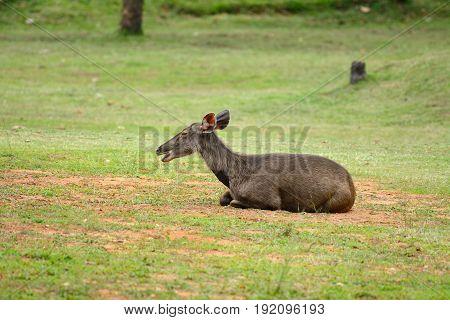 beautiful female samba (Cervus unicolor) resting in Thai forest