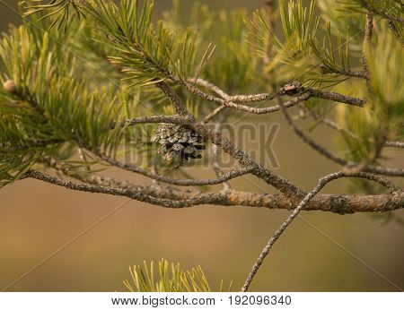 Beautiful Pine Branches In A Natural Habitat In Early Spring.