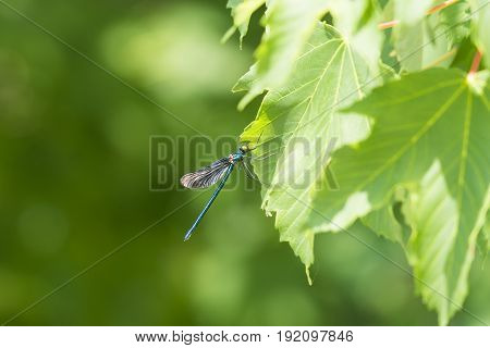Close-up of a Beautiful Demoiselle (Calopteryx virgo). View on a blue Dragonfly (Odonata ) on a Leaf. Dragonflies at the Lake.