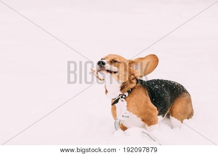 Beautiful Funny Tricolor Puppy Of English Beagle Playing Fast Running In Snow At Winter Day. Beagle Is A Breed Of Small Hound, Similar In Appearance To The Much Larger Foxhound.