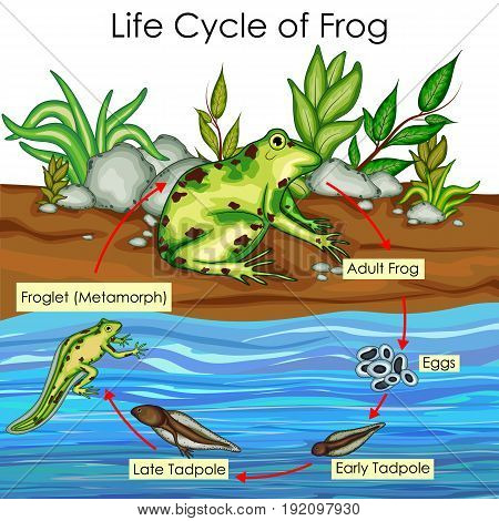 Education Chart of Biology for Life Cycle of Frog Diagram. Vector illustration