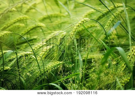 Green sunny barley field abstract nature background concept for agriculture and nutrition fertilization and pesticides copy space selected focus narrow depth of field