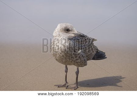 Seagull At The Shore Of Holland