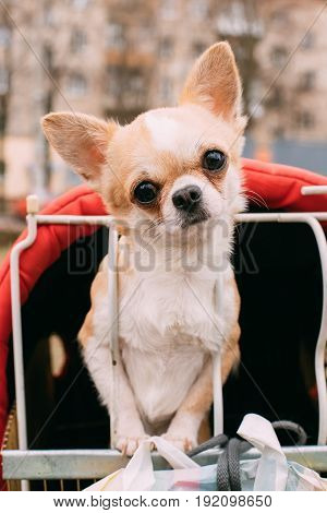Funny Young Red And White Tiny Chihuahua Dog  Looks Out Of Cage.