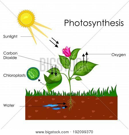 Education Chart of Biology for Photosynthesis Process Diagram. Vector illustration