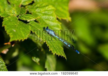 Southern Damselfly Perched On Leaf In Sunshine