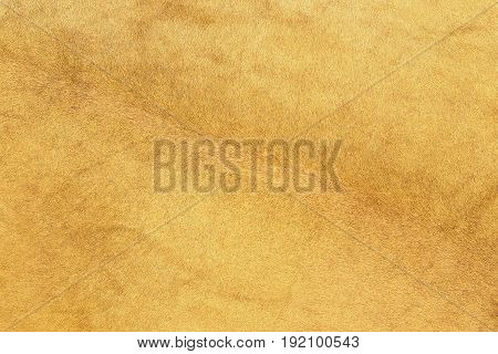 african lion fur texture of real pelt