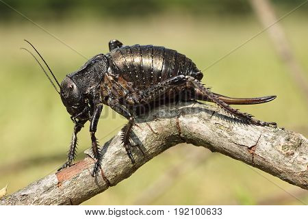 big bellied cricket standing on a twig ( Bradiphorus Dasiphus )