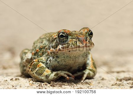 colorful Bufotes viridis closeup the european common green toad
