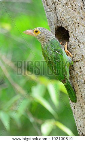 beautiful Lineated Barbet (Megalaima lineata) feeding its chick