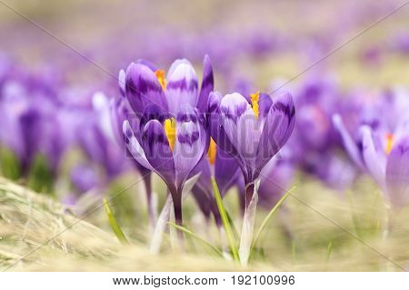 closeup of wild saffron flowers ( Crocus sativus ) growing on mountain meadow
