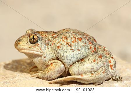 colorful garlic toad standing on the ground ( Pelobates fuscus )