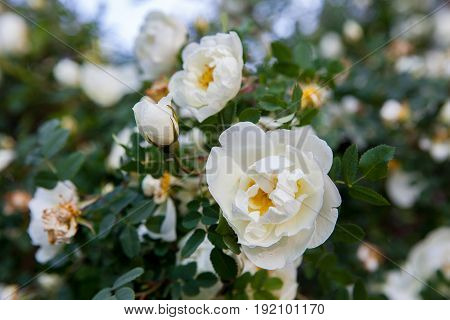 The Blooming Bush Of White Dog Rose