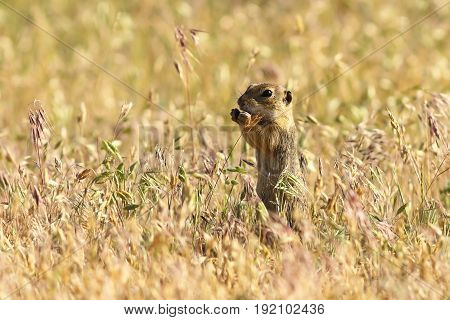 european ground squirrel in natural habitat cute young animal eating ( Spermophilus citellus )