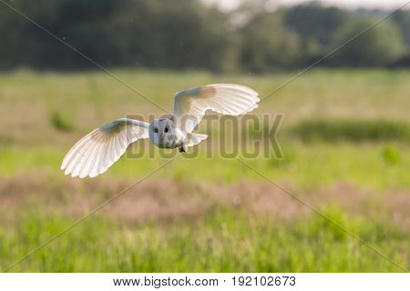 Barn Owl (tyto Alba) Hunting In Rural Countryside