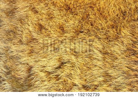 european lynx real pelt texture of big cat leather