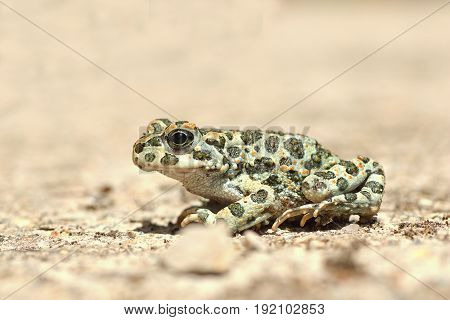 full length image of european green toad ( Bufotes viridis )