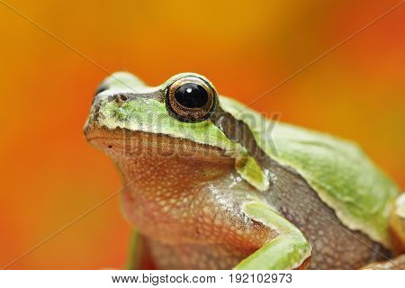green tree frog portrait over colorful background ( Hyla arborea )