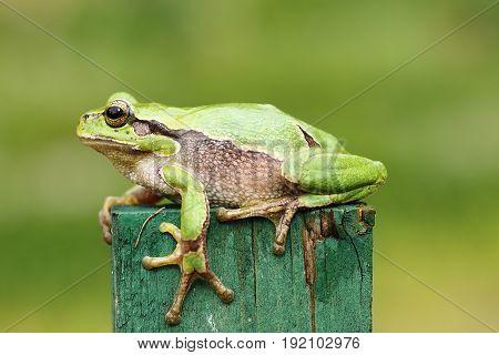 cute green tree frog close up ( Hyla arborea )
