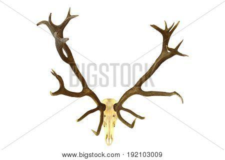 huge red deer buck hunting trophy isolation of skull with large antlers over white background ( Cervus elaphus )