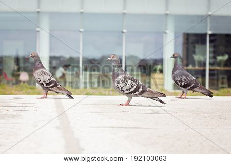Three grey pigeons walking at city centre