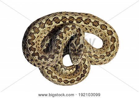 beautiful male meadow viper isolated over white background ( Vipera ursinii rakosiensis the rarest snake in Europe )