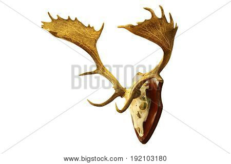 large fallow deer stag hunting trophy isolated over white background ( Dama )