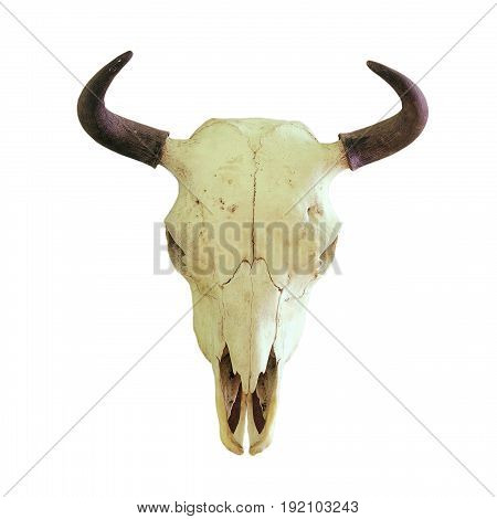 skull of european bison ( Bison bonasus ) hunting trophy isolated over white background