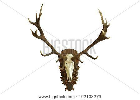 large beautiful red deer skull isolated over white background ( Cervus elaphus huge hunting trophy )