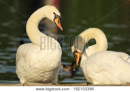 mute swans couple standing together near the lake ( Cygnus olor ); male and female bird in spring mating season