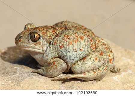 profile view of garlic toad ( Pelobates fuscus )