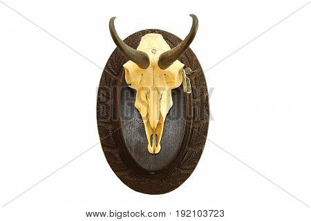 Rupicapra rupicapra hunting trophy isolated over white chamois skull