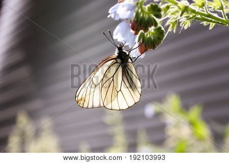 White Butterfly With Wiry Wings, On A Blue Bell Flower