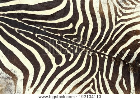 texture of zebra old pelt detail on a hunted animal