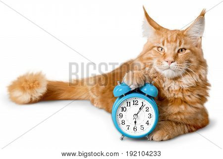 Red cat adorable lock color white background