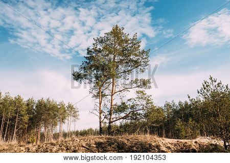 Pine Tree Growing On Sandy Hill In Autumn Forest. Early Spring Or Late Autumn Coniferous Forest Landscape. Nature Of Belarus Or European Part Of Russia.