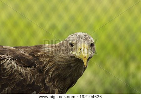 white tailed eagle portrait closeup of beautiful bird ( Haliaeetus albicilla )