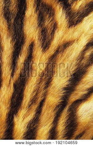 tiger stripes on real pelt animal skin texture