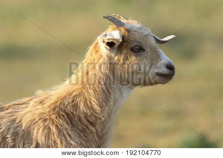 young cute goat portrait over out of focus background