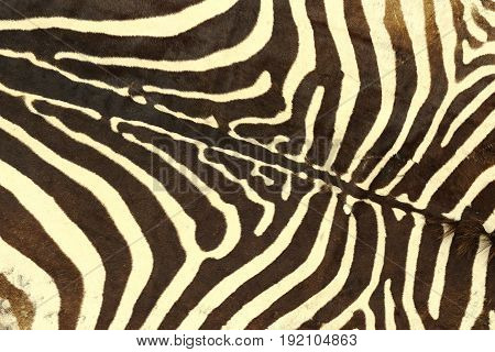 zebra striped pattern texture of real leather for your design