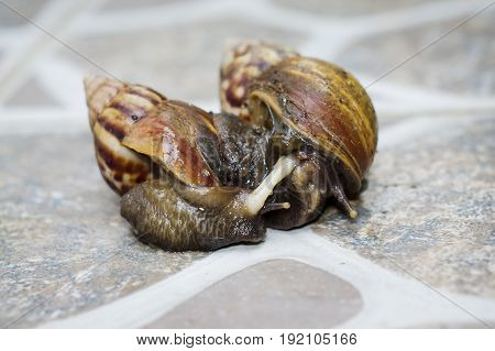Closeup of Mating Couple of snails in a yard
