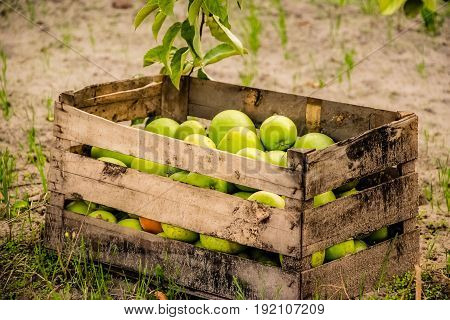 Basket with the organic green apples outdoor
