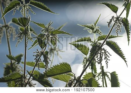 healthy stinging nettle plant with blue blurred background